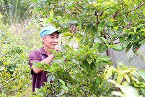 Làng mai Phú Hưng vào mùa Tết