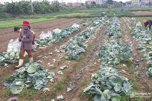 Giá rau tăng, nông dân khấp khởi vui mừng