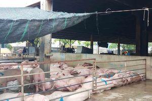 Quảng Ngãi: Kiên quyết xử lý các cơ sở chăn nuôi tập trung gây ô nhiễm