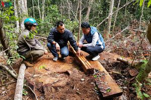 Thuê người cưa cây để bảo vệ rừng ở Gia Lai: Vì đâu nên nỗi?