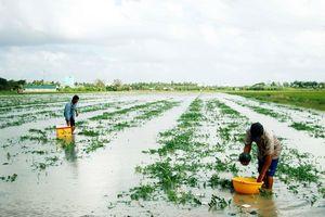 Nông dân trồng dưa hấu mất tết vì ngập úng