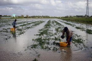 Hàng chục hec-ta dưa hấu Tết ở Cà Mau bị ngập nước