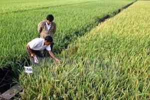 Phú Yên: Hỗ trợ 30 tấn lúa giống vụ Đông Xuân 2019