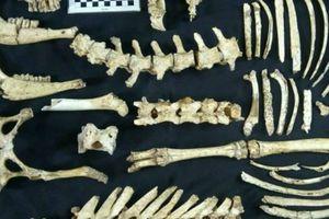 Phát hiện hóa thạch của hươu thời tiền sử tại Argentina