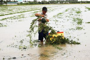 Dưa hấu chìm sâu trong biển nước, nông dân Cà Mau điêu đứng