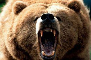 Tổng hợp những trận đánh 'sinh tử' của loài gấu
