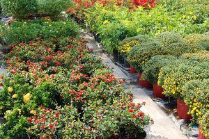 Dân trồng hoa bán Tết: 'Kẻ khóc người cười' với thời tiết ẩm ương
