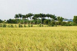 Lúa thơm hữu cơ ST24 lợi nhuận gấp đôi lúa thường