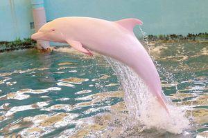 Nhật Bản: 'Cá heo trắng' chuyển thành màu hồng phấn mỗi khi tức giận