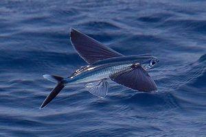 Cá chuồn, loài cá biết bay