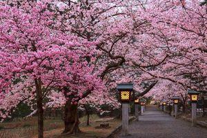 Lễ hội hoa Anh đào Nhật Bản - Hà Nội năm 2019 có gì mới?