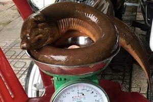 Nghệ An: Con lươn khổng lồ nặng 1,6 kg nhìn thật kinh sợ