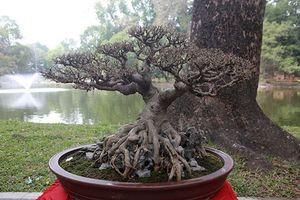 Ngắm dàn cây bonsai 'nhỏ mà có võ' tiền tỷ ở Hà Nội