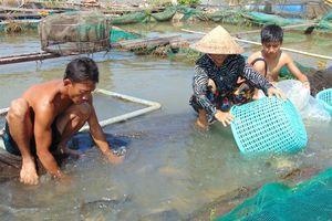 Chuyển từ trồng lúa sang nuôi cá chép giòn, thu 3 tỷ đồng/năm