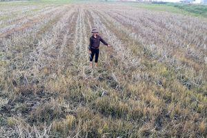 Lạm dụng thuốc trừ cỏ 'đầu độc' ruộng đồng
