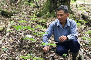 Kon Tum công bố sản phẩm sâm Ngọc Linh lần đầu tiên sau 30 năm bảo tồn