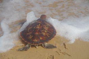 Ngư dân Phú Yên bắt được rùa biển có chữ lạ ở lưng