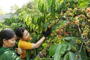 Công ty Nestlé Việt Nam hỗ trợ nông dân sản xuất càphê bền vững