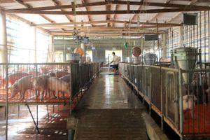 Đắk Nông: Nhiều trang trại chăn nuôi heo không đảm bảo vệ sinh môi trường
