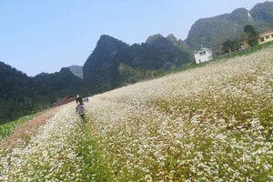 Ngay ở Cao Bằng có thung lũng hoa tam giác mạch đẹp 'RỤNG TIM' đang nở rộ nhất định phải đi dịp Tết này