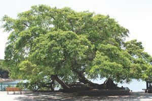 7 loài cây 'sống thọ' nhất