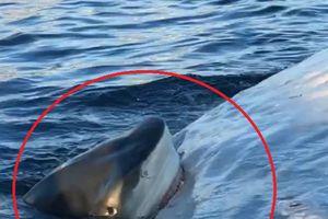 Cá mập hổ cắn xé xác cá voi khổng lồ ngay trước mũi tàu