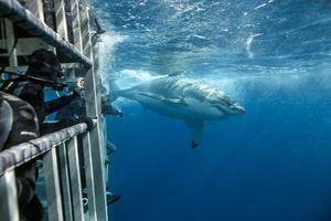 Đối đầu trực tiếp và selfie cùng cá mập trắng khổng lồ