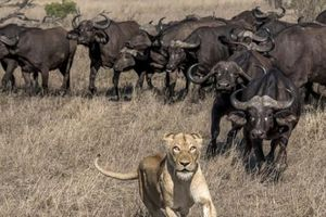 Bầy sư tử ăn thịt trâu non, trâu lớn lao đến tung đòn sấm sét