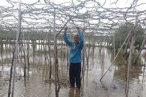Nhiều vườn nho ngập úng vì nâng cấp kênh