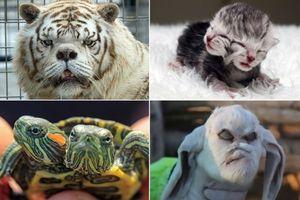 Dê mặt quỷ, bê 2 đầu hay những động vật dị hình nhất thế giới