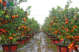 Những gốc cam canh bonsai trĩu quả chờ khách rước về chơi Tết