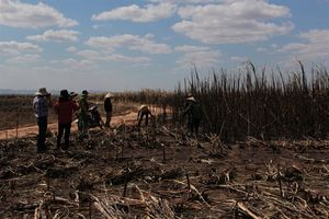 Đắk Lắk: Cháy sạch hơn 100 ha mía đang cho thu hoạch