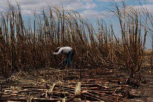 'Bà hỏa' thiêu trụi hơn 100 ha mía đang thu hoạch