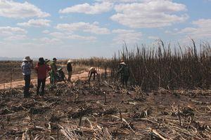 Cháy hơn 100 ha mía đang trong thời gian thu hoạch