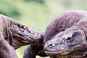Rồng Komodo đọ sức ngay trước mặt khách du lịch