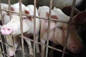 Trung Quốc xác nhận ổ dịch cúm lợn châu Phi tại tỉnh Giang Tô