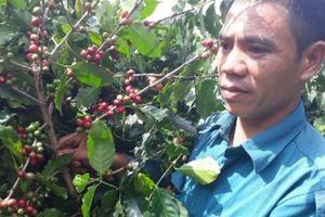 Có của ăn của để nhờ trồng cà phê trên đất dốc, trái chi chít