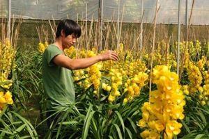 Địa lan Đà Lạt nở sớm vàng rực, nhà vườn 'ngậm đắng nuốt cay'