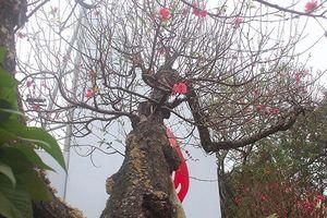 Đào rừng thân mục 'khủng' giá trăm triệu có gì đặc biệt?