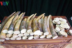 Bắt giữ đối tượng vận chuyển 51kg ngà voi