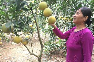 Mùa vàng ở Phú Cường