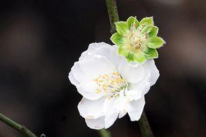 Clip: Bạch đào hiếm có nổi bật giữa làng hoa Nhật Tân rực sắc hồng