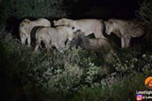 Nhím xù lông nhọn tấn công, 7 con sư tử háu đói bất lực bỏ cuộc