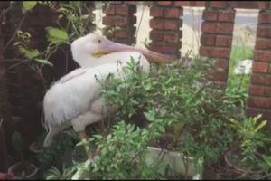 Chim 'khủng' nặng hơn 8 kg, mỏ cực dài lạc vào vùng biển Cửa Việt