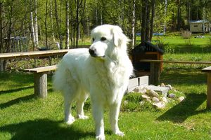 Không phải Ngao Tây Tạng - Đây mới là loài chó lớn nhất hành tinh!