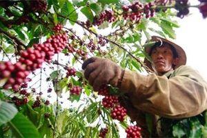 Nông sản ngày 15/1: Giá cà phê giảm 300 đồng, giá hồ tiêu thấp nhất tính từ đầu năm 2019