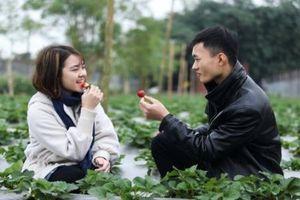 Tại Hà Nội có một vườn dâu tây 4000m2 thoải mái check-in