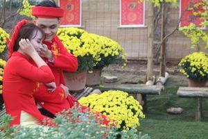 Vườn cúc mâm xôi Đồng Tháp vàng rực hút khách ở Thủ đô