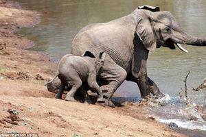Cá sấu định săn voi nhận kết cục chưng hửng