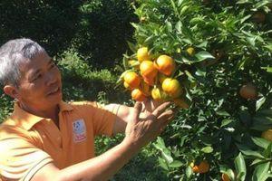 Trồng cam Canh trên cao nguyên bán Tết, nông dân thu bộn tiền